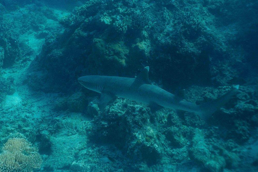 Reef Shark, Havannah Bay, Vanuatu
