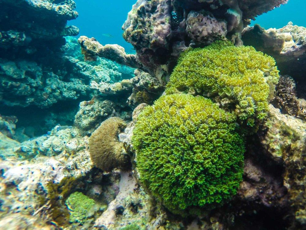 Green Coral, Reef Snorkeling, Vanuatu
