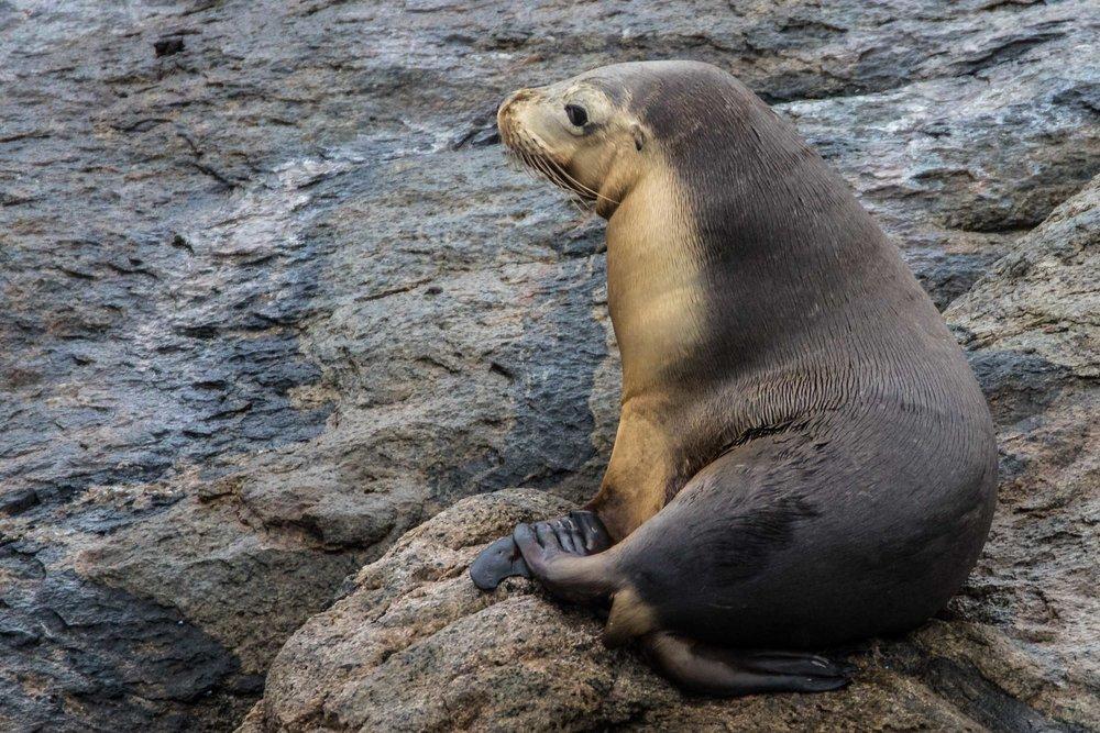 Bremer Bay Sea Lion (Glasse Island)