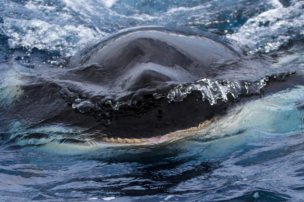 The teeth of a super predator, the Orca (Killer Whales) of Bremer Canyon, Western Australia