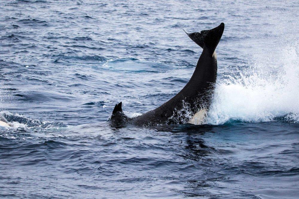 Killer whale tail slap, Bremer Bay, Western Australia 1