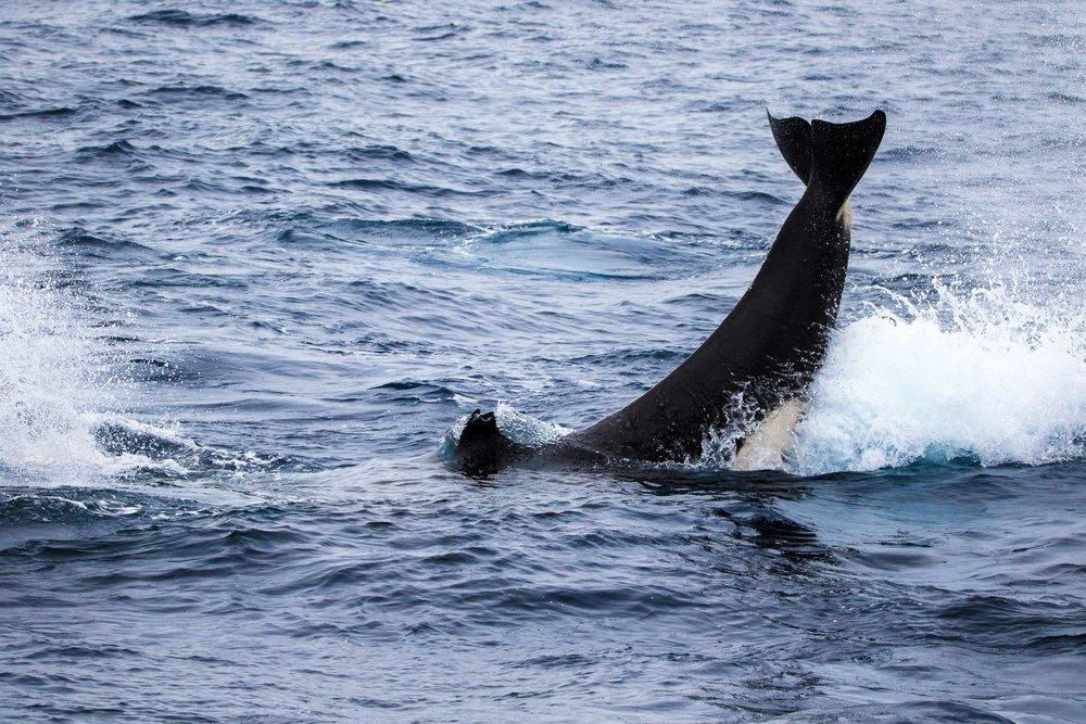 Killer whale tail slap, Bremer Bay, Western Australia 2