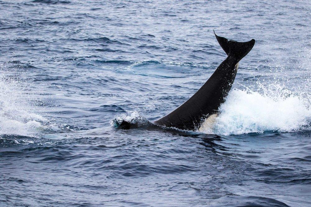 Killer whale tail slap, Bremer Bay, Western Australia 3