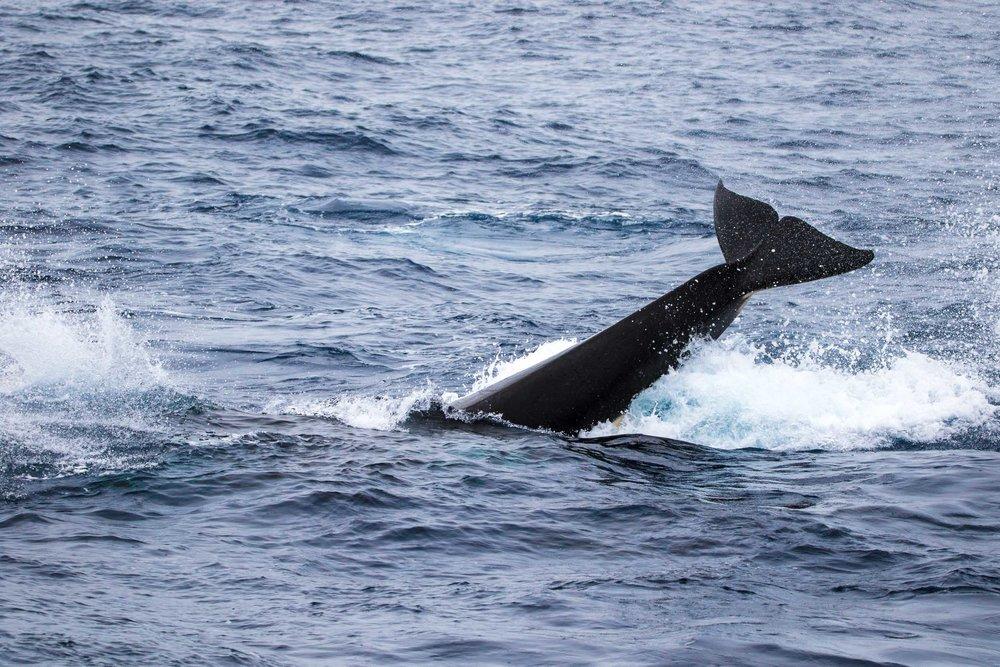 Killer whale tail slap, Bremer Bay, Western Australia 5