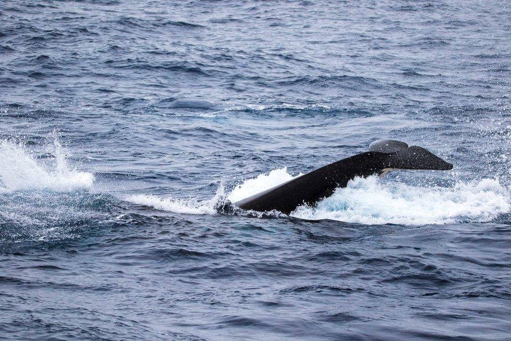 Killer whale tail slap, Bremer Bay, Western Australia 6