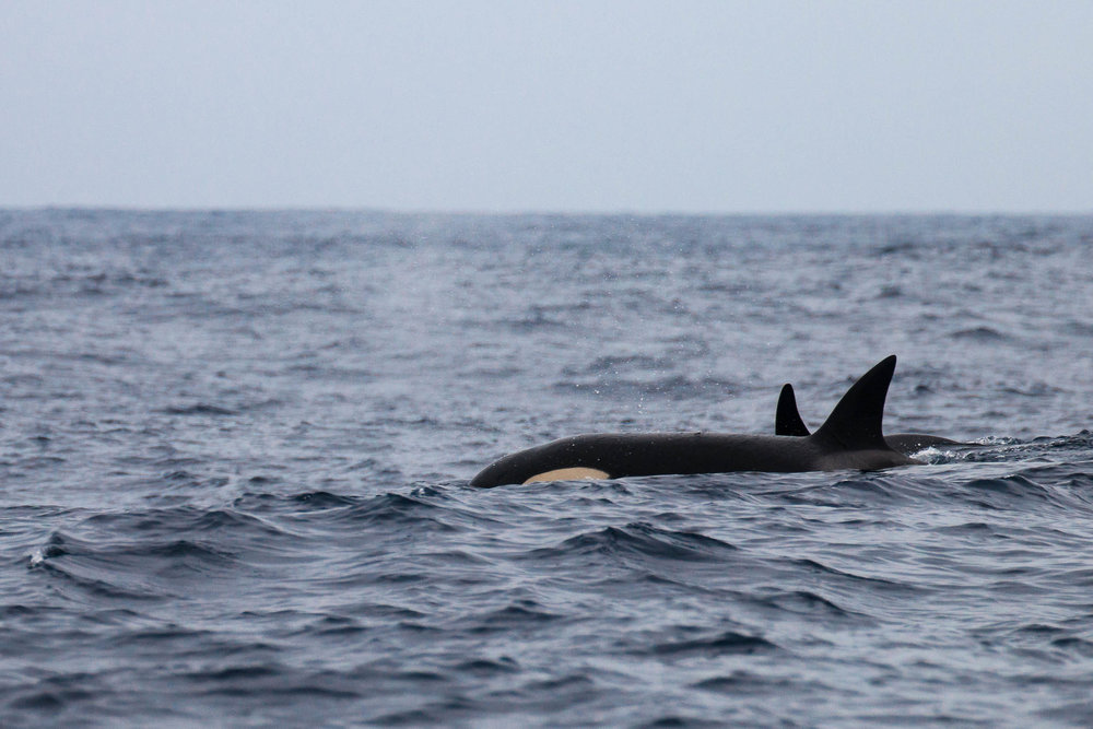 Mother and baby orcas, never far apart