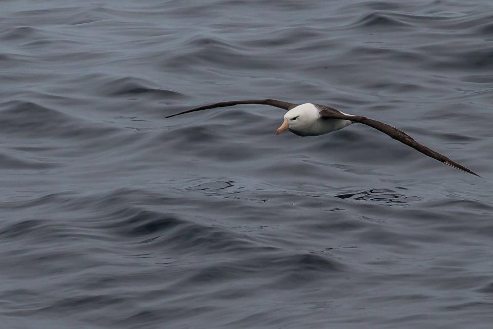 An ever graceful albatross skims the surface