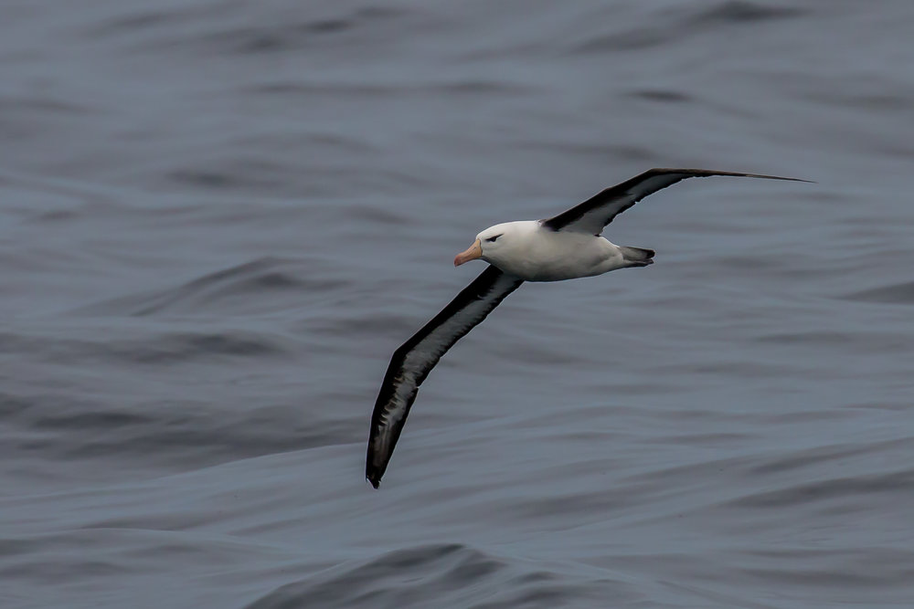 Albatross spotted while orca whale watching in Bremer Bay.jpg