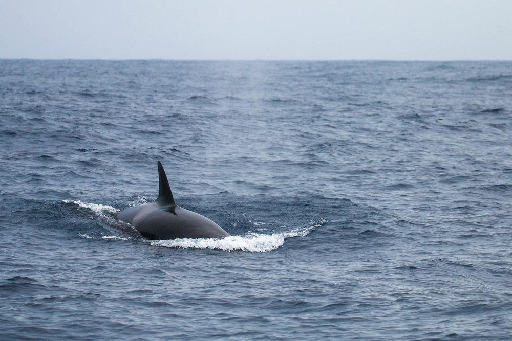 Orcas of Bremer Bay (6 of 28).jpg