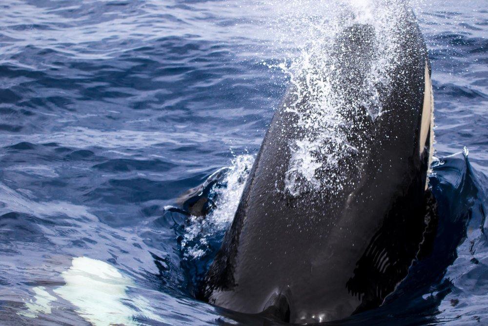 Bremer Bay (Killer Whales)-9229.jpg