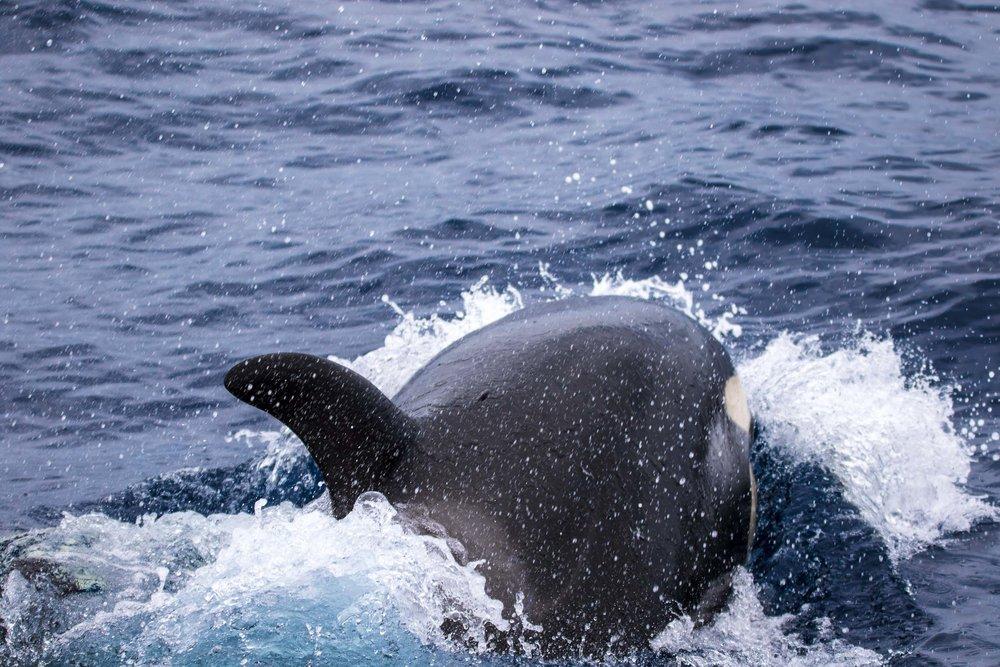 Bremer Bay (Killer Whales)-9235.jpg