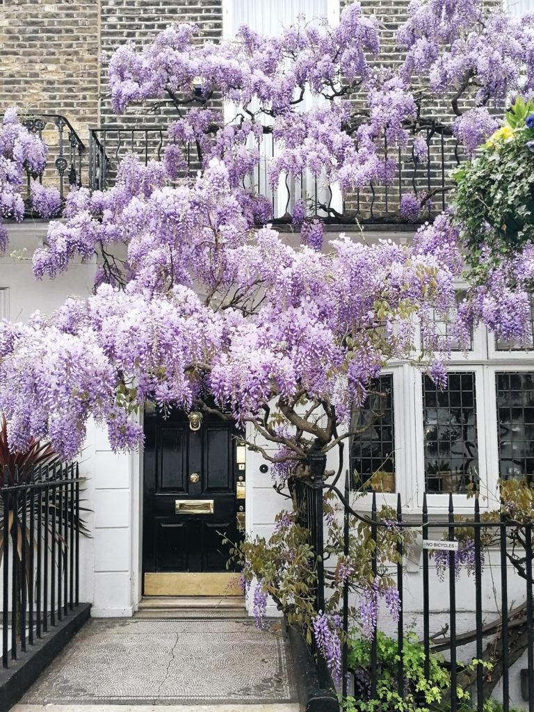 London wisteria, where to find wisteria in London