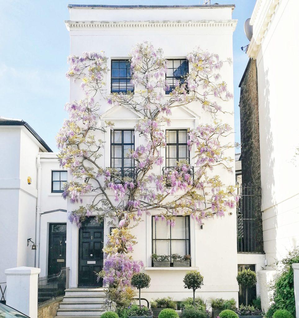 Wisteria in London, London in Spring
