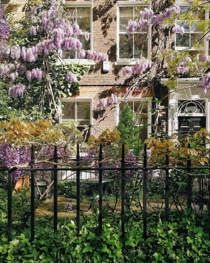 wisteria in London