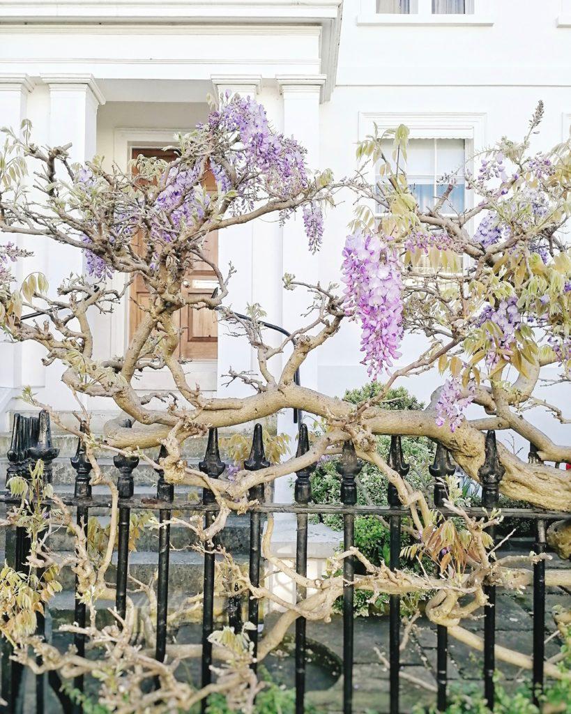 Wisteria in London, where to find wisteria in London, London