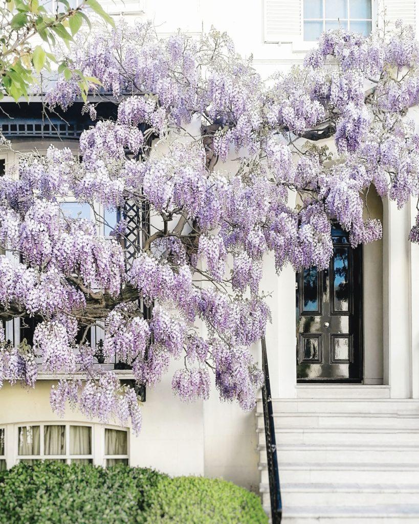 wisteria in London, London