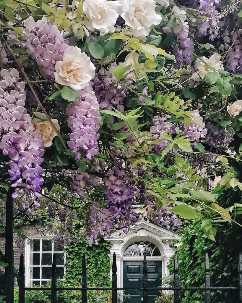 Wisteria in London, Visit London