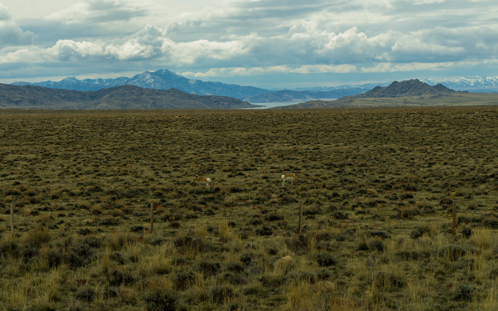 Two Pronghorns we saw in Wyoming