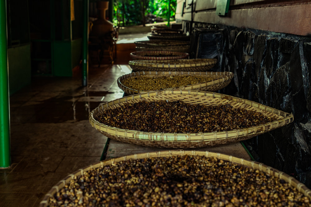 Coffee beans pooped out by the weasels and waiting for the next stage of processing.