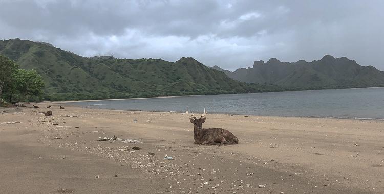 Deer on the beach of Komodo Island