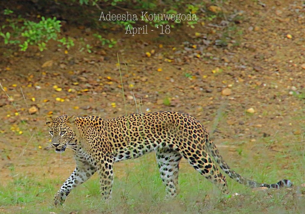 Sri Lankan Leopard by Instagram: adeeshak