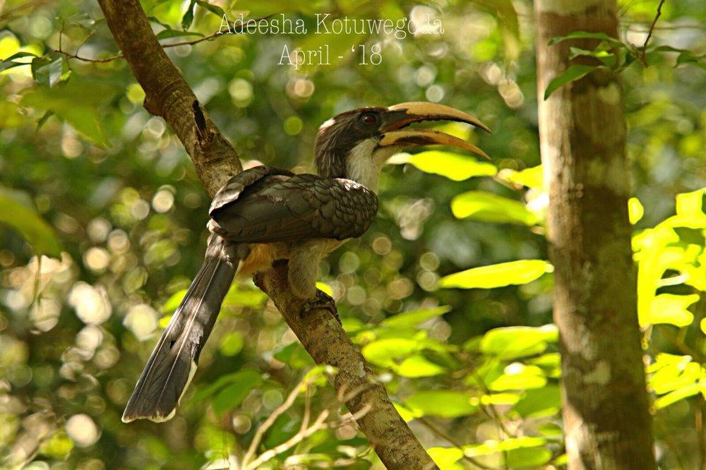 Sri Lankan Grey Hornbill by Instagram: adeeshak