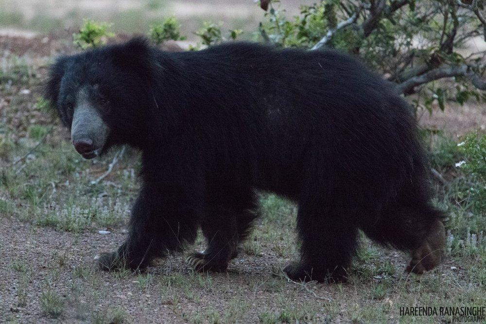 Sloth Bear by Instagram: hareenda