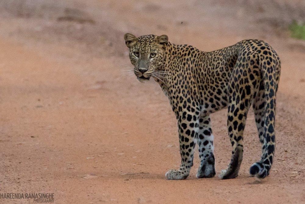 Leopard by Instagram: hareenda