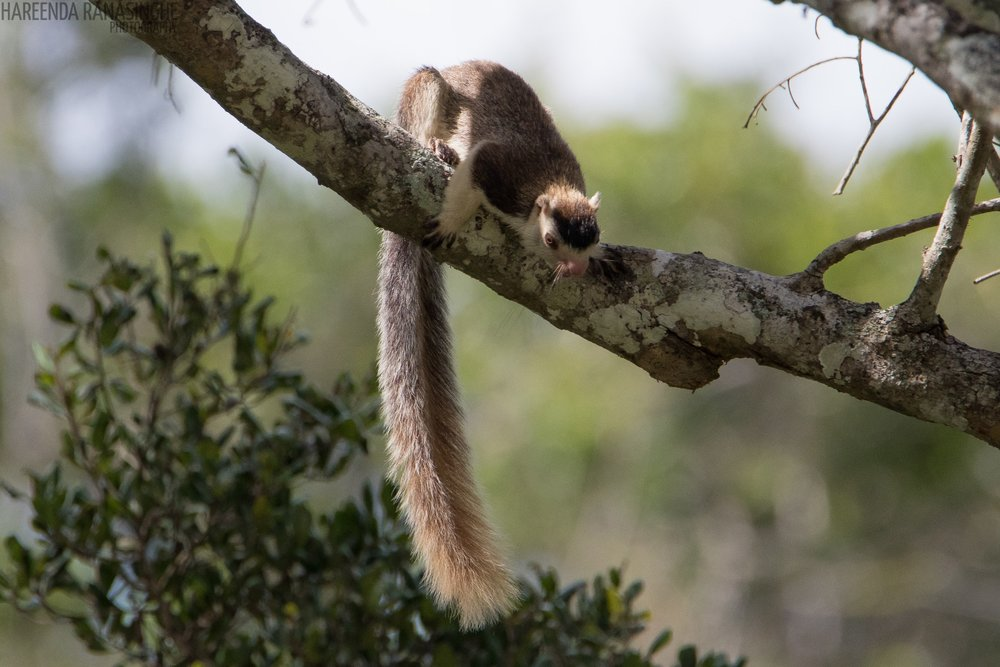 Grizzled Giant Squirrel by Instagram: hareenda