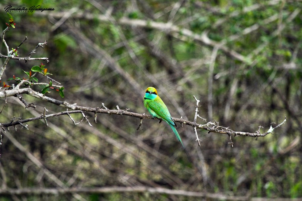 Green Bee Eater by Instagram: nimantha_hewagama_photography