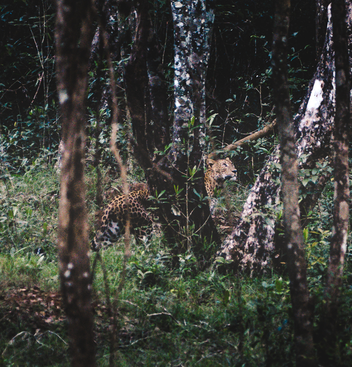 Leopard looking to the trees