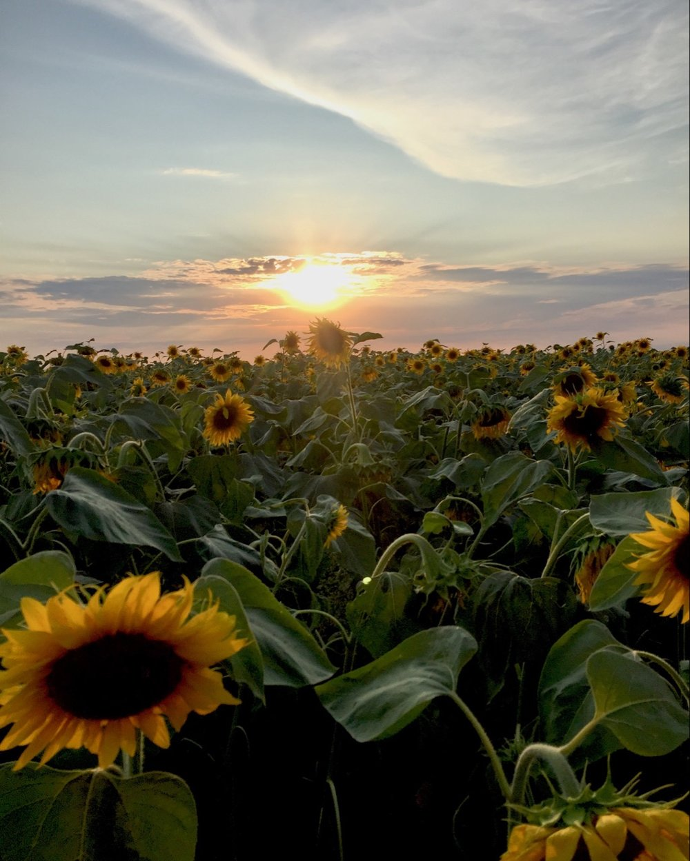Famous Ukrainian 'oceans of sunflowers' on the east border with Russia (photo by the author)