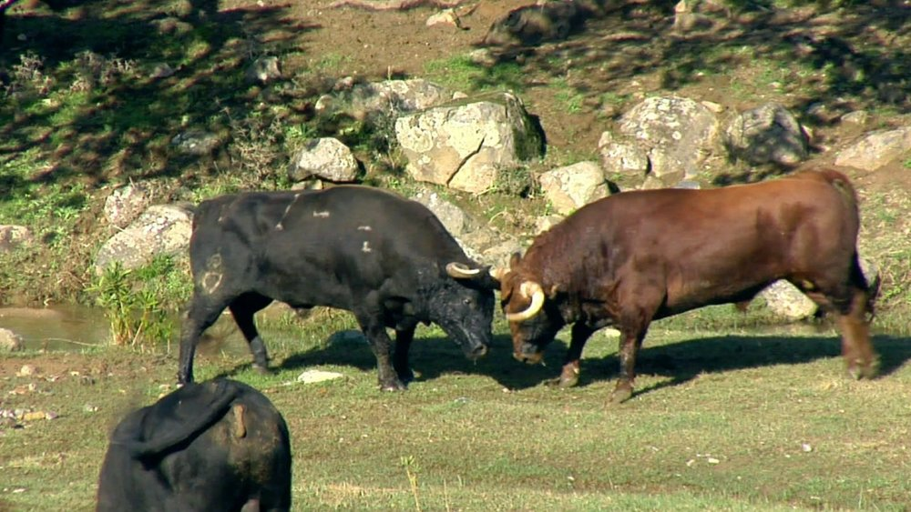 video-bull-fight.jpg