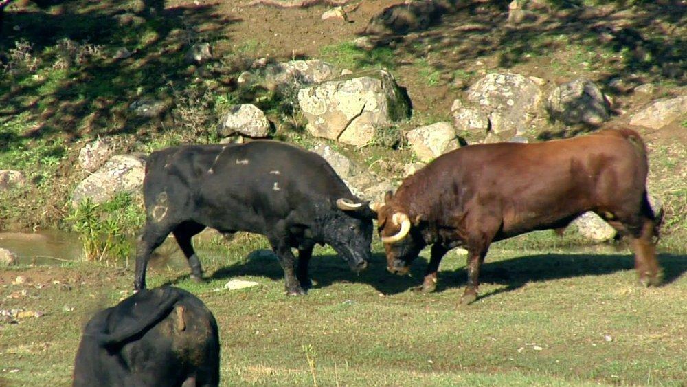 video-bull-fight.jpg