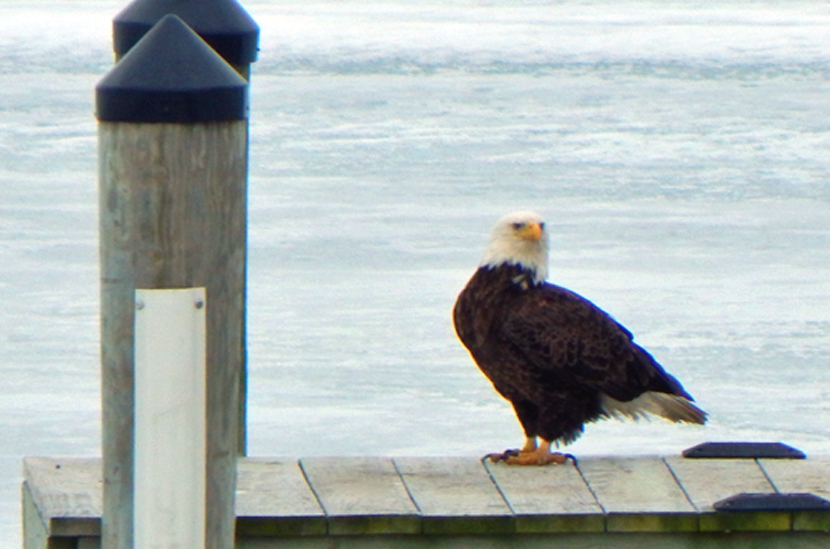 RehobothBeachYCC_bald-eagle.jpg