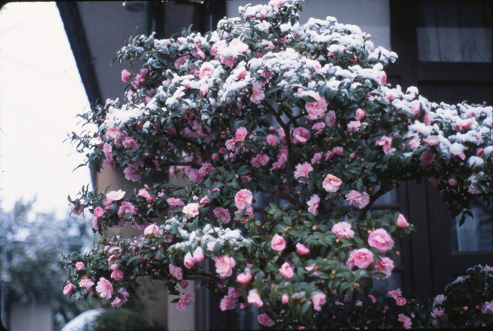 Sazanka, Camellia sasanqua
