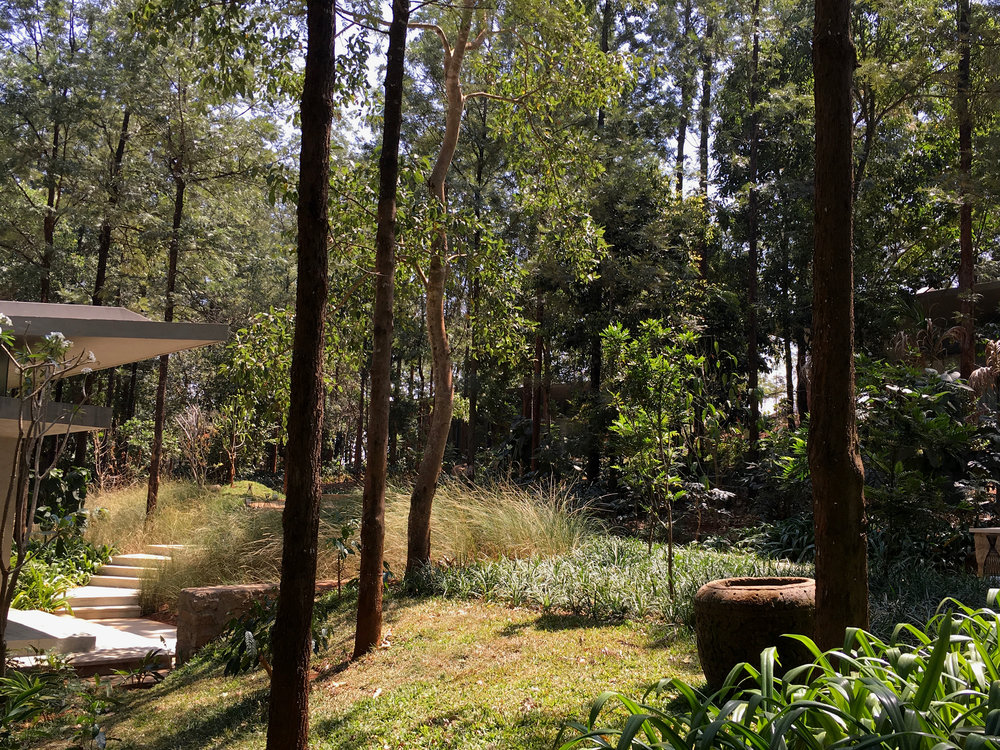 Ficus-landscape-bangalore-java-rain-resort-chikmagalur-pathway-planting
