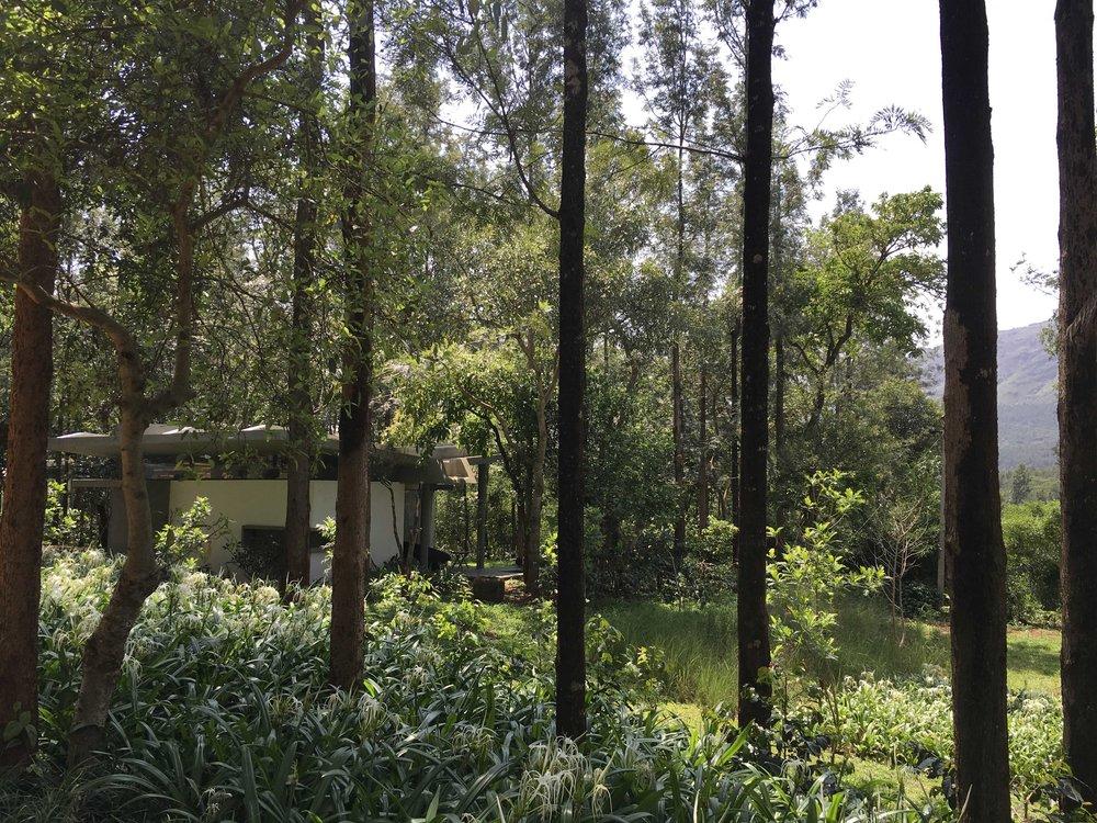Ficus-landscape-bangalore-java-rain-resort-chikmagalur-planting-mullayanagiri-hill