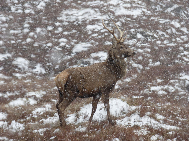 A young stag in a snow flurry