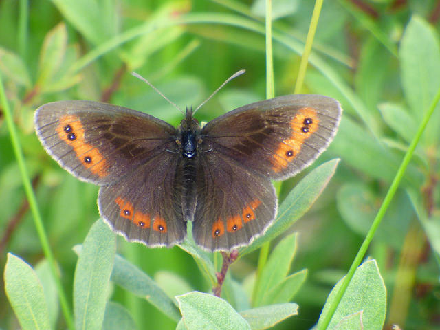 A fine Scotch Argus. These often emerge en masse as they did this year