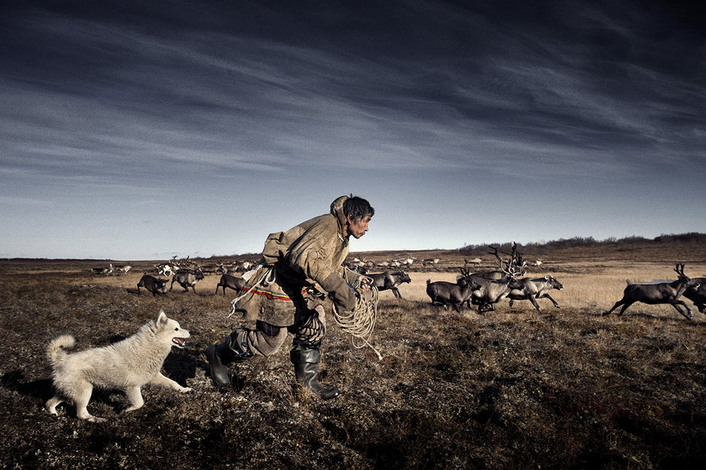 Russia, Yamal, October 2009,   A Nenets reindeer herder is rounding up his reindeer.