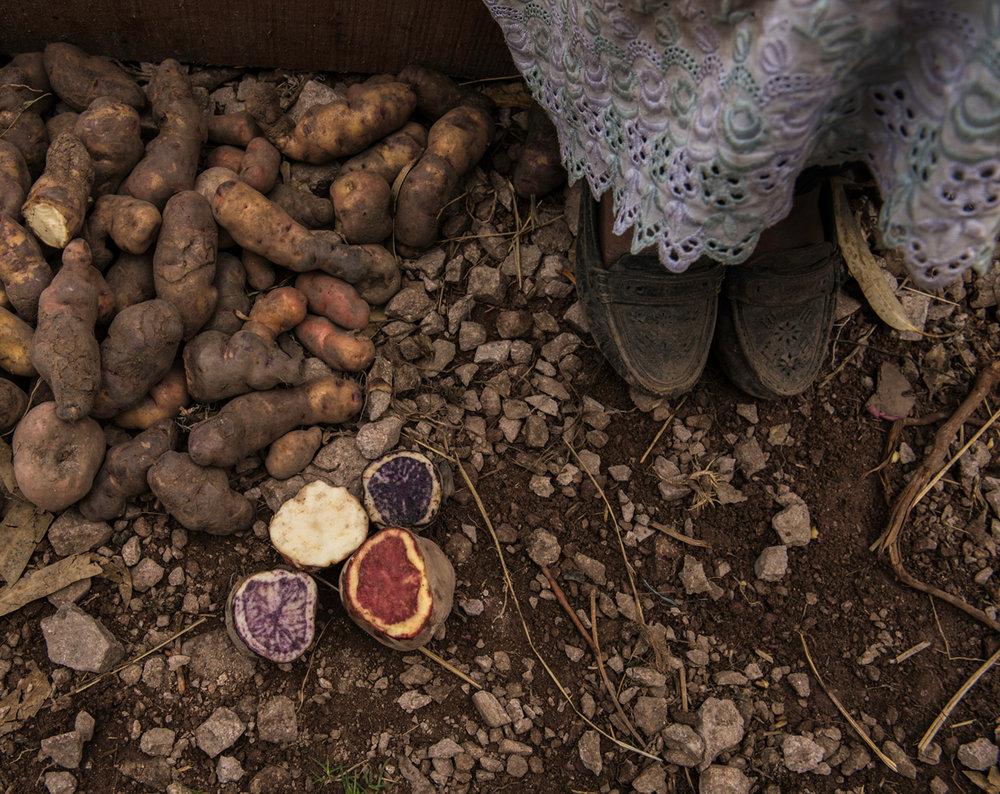 Native potatoes in Corazon de Ñaupas, Ayacucho. Peru, 2016.