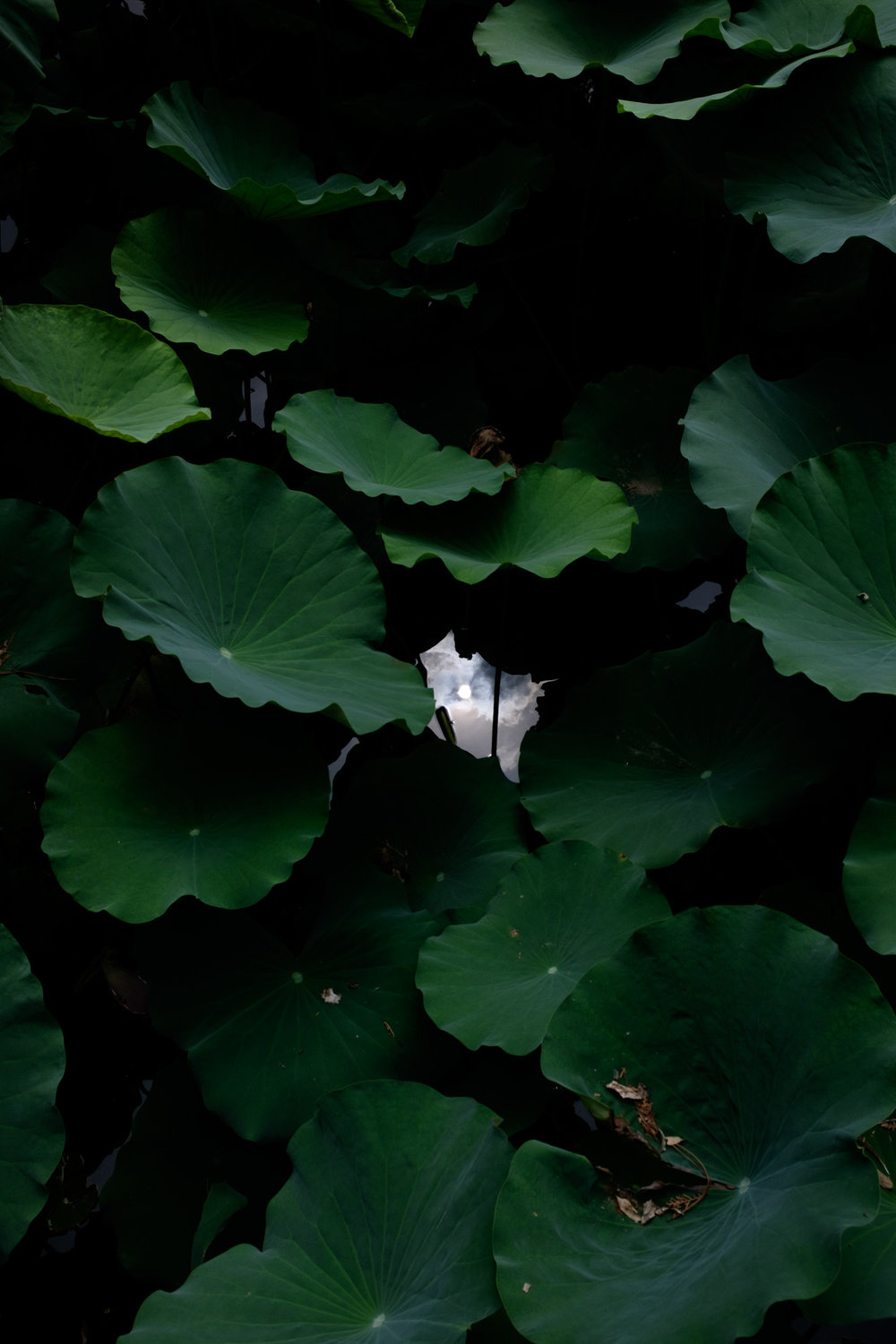 The sun reflected in a lily pond at the Summer Palace, Beijing, August 2017