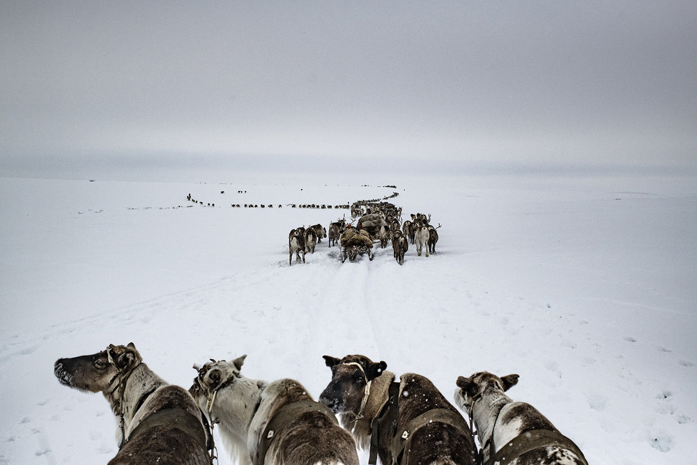 """Russia, Yamal Peninsula, April 2018The Yamal peninsula in western Siberia, a homeland of nomadic Nenets reindeer herders.In Yamal - which in the local Nenets language means """"the end of the earth"""".The Nenets people of the Siberian arctic are the guardians of a style of reindeer herding that is the last of its kind. Through a yearly migration of over a thousand kilometres, these people move gigantic herds of reindeer from summer pastures in the north to winter pastures just south of the Arctic Circle. No-one knows for certain whether it is the reindeer that lead the people or vice versa. What is certain is that fewer places on earth are home to a more challenging environment, an environment where temperatures plummet to -50C and where crossing the worlds fifth largest river as it deep-freezes is just part of the routine. Such a difficult environment unites the people physically through a regimented work ethic, but far more importantly, the Yamal-Nenets are unified by a robust and vibrant culture. It is a culture that has had to survive a turbulent history, from early Russian colonisation, to Stalin's terror regime, to the modern day dangers of a rapacious oil and gas development programme.Yuri Kozyrev / NOOR for Carmignac Foundation"""