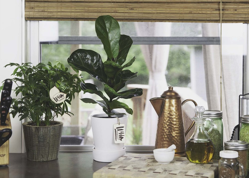 Fiddle Leaf Fig Foliage.jpg