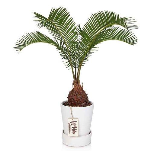 Sago+Palm.jpg