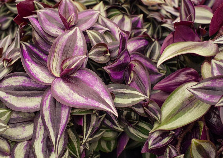 How-to-Care-for-a-Zebrina-Plant.jpg