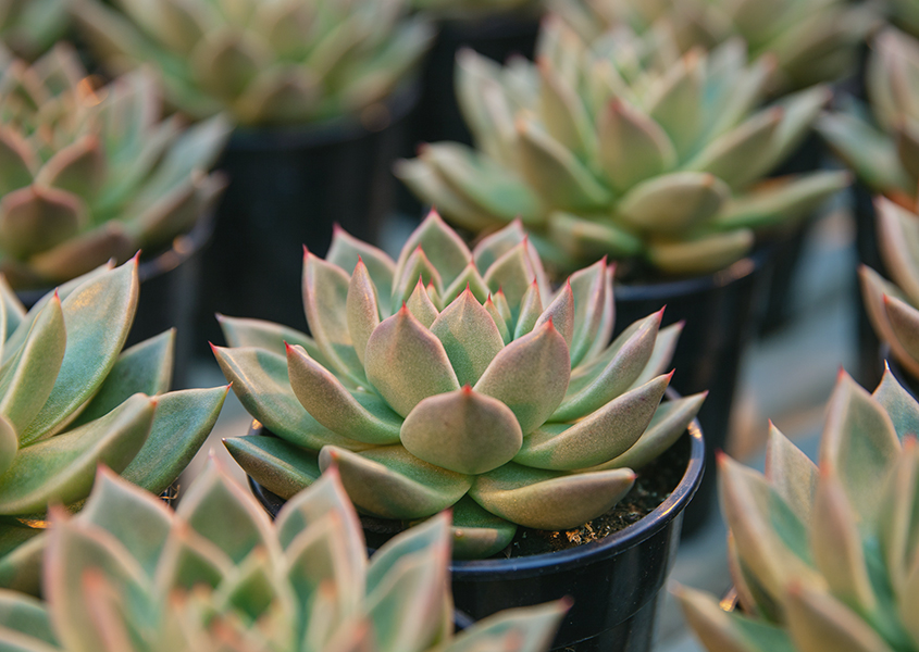 Ok, these are Echeveria Parvas - don't @ us.