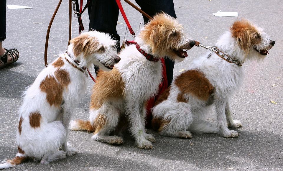 Dog Walker - Gig Economy