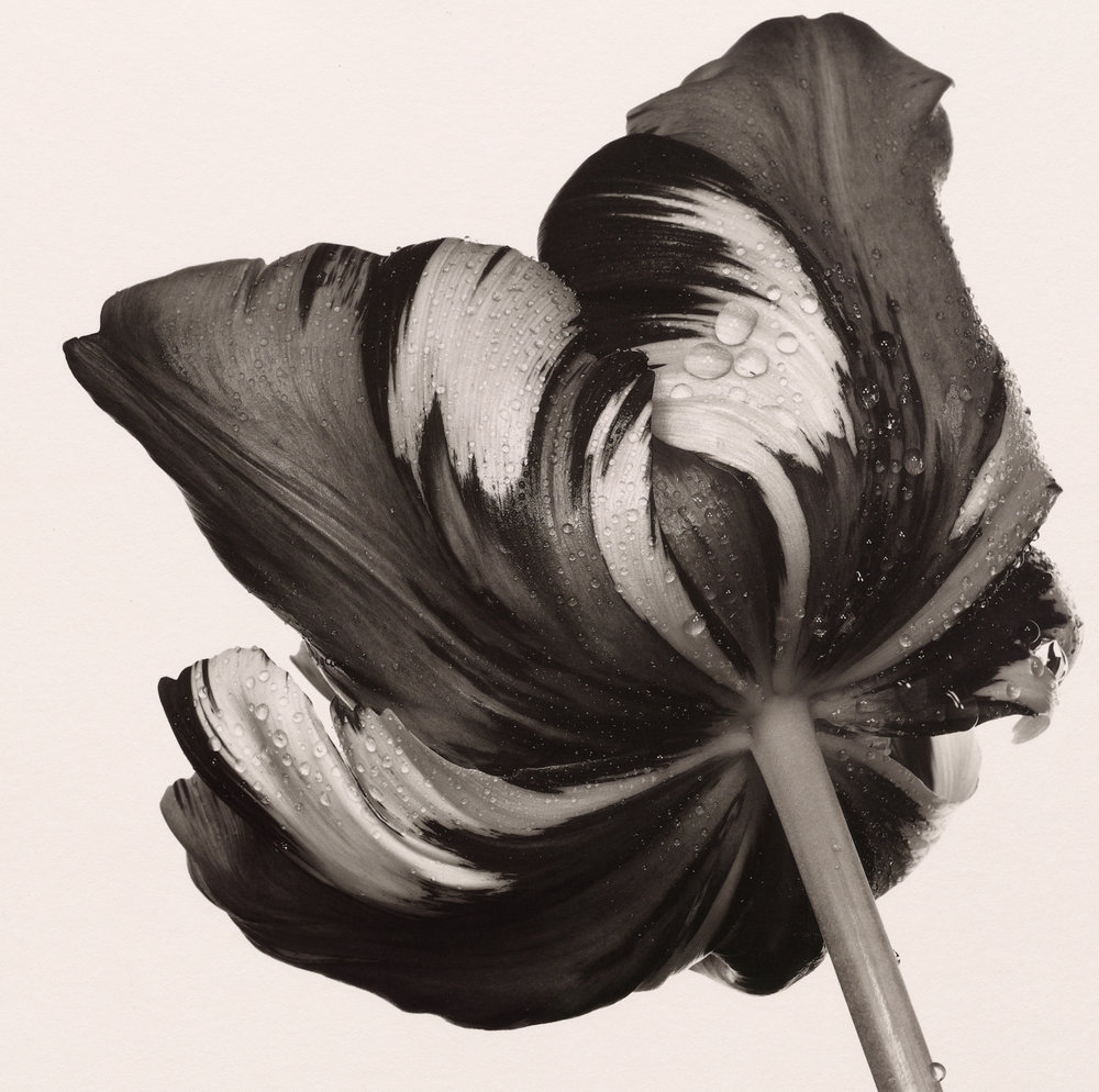 Cottage Tulip 'Sorbet' , New York, 1967 Platinum-palladium print © Condé Nast